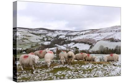 Sheep Feed on High Moorland in a Wintry Landscape in Powys, Wales, United Kingdom, Europe-Graham Lawrence-Stretched Canvas Print