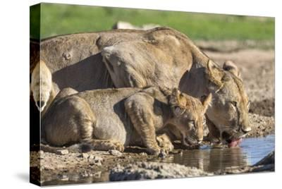Lioness with Cub (Panthera Leo) Drinking, Kgalagadi Transfrontier Park, Northern Cape, South Africa-Ann & Steve Toon-Stretched Canvas Print