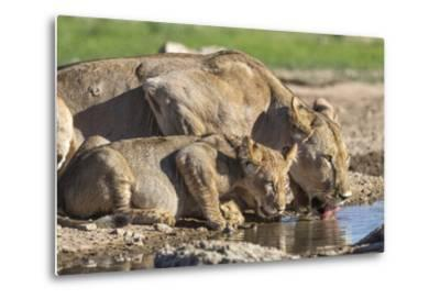 Lioness with Cub (Panthera Leo) Drinking, Kgalagadi Transfrontier Park, Northern Cape, South Africa-Ann & Steve Toon-Metal Print