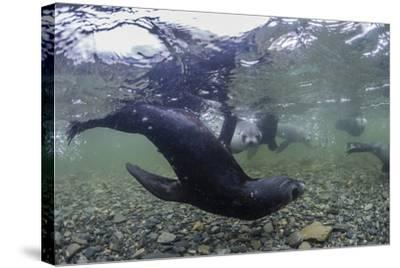 Curious Antarctica Fur Seal Pups (Arctocephalus Gazella), Polar Regions-Michael Nolan-Stretched Canvas Print