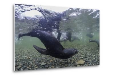 Curious Antarctica Fur Seal Pups (Arctocephalus Gazella), Polar Regions-Michael Nolan-Metal Print