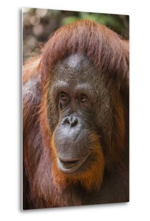Reintroduced Female Orangutan (Pongo Pygmaeus), Indonesia-Michael Nolan-Metal Print