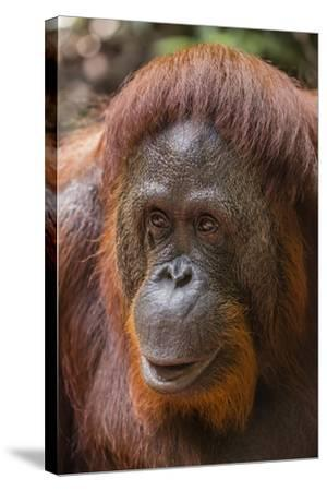 Reintroduced Female Orangutan (Pongo Pygmaeus), Indonesia-Michael Nolan-Stretched Canvas Print
