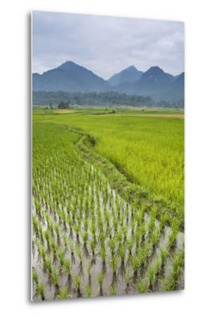 Rice Paddy Fields, Bukittinggi, West Sumatra, Indonesia, Southeast Asia, Asia-Matthew Williams-Ellis-Metal Print
