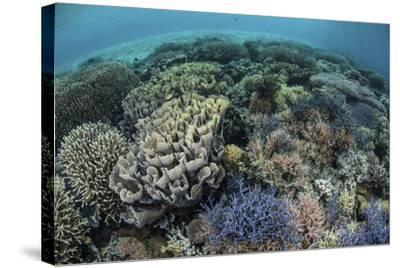 Colorful Corals Near the Island of Alor, Indonesia-Stocktrek Images-Stretched Canvas Print