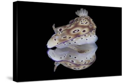 Risbecia Tryoni Nudibranch, Beqa Lagoon, Fiji-Stocktrek Images-Stretched Canvas Print
