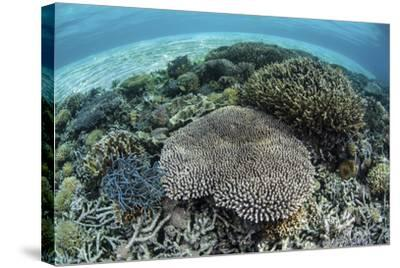 Reef-Building Corals Near Alor, Indonesia-Stocktrek Images-Stretched Canvas Print