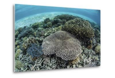 Reef-Building Corals Near Alor, Indonesia-Stocktrek Images-Metal Print