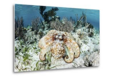 A Caribbean Reef Octopus on the Seafloor Off the Coast of Belize-Stocktrek Images-Metal Print
