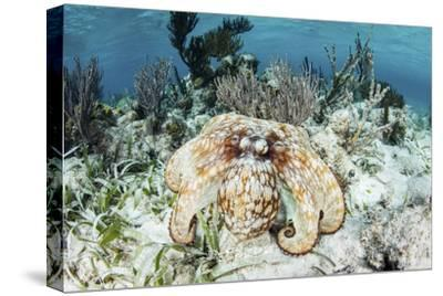 A Caribbean Reef Octopus on the Seafloor Off the Coast of Belize-Stocktrek Images-Stretched Canvas Print