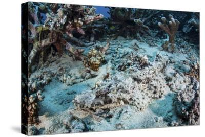 A Crocodilefish Lays on the Seafloor Near an Artificial Reef-Stocktrek Images-Stretched Canvas Print