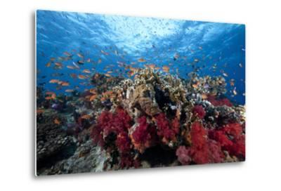 Schooling Anthias Fish and Healthy Corals of Beqa Lagoon, Fiji-Stocktrek Images-Metal Print