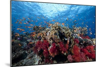 Schooling Anthias Fish and Healthy Corals of Beqa Lagoon, Fiji-Stocktrek Images-Mounted Premium Photographic Print