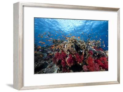 Schooling Anthias Fish and Healthy Corals of Beqa Lagoon, Fiji-Stocktrek Images-Framed Premium Photographic Print