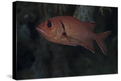A Bigscale Soldierfish, Fiji-Stocktrek Images-Stretched Canvas Print