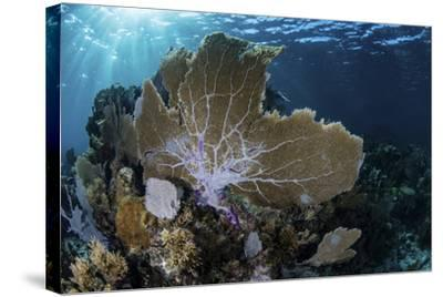 A Colorful Set of Gorgonians on a Diverse Reef in the Caribbean Sea-Stocktrek Images-Stretched Canvas Print