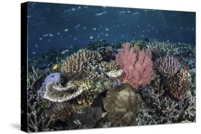 A Diverse Array of Corals Grow in Raja Ampat, Indonesia-Stocktrek Images-Stretched Canvas Print