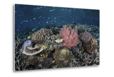 A Diverse Array of Corals Grow in Raja Ampat, Indonesia-Stocktrek Images-Metal Print