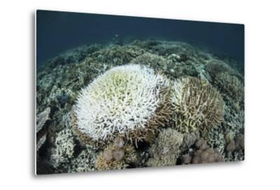 Coral Colonies are Beginning to Bleach on a Reef in Indonesia-Stocktrek Images-Metal Print