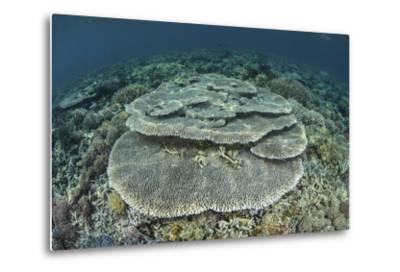 Corals Grow on a Shallow Reef in Indonesia-Stocktrek Images-Metal Print