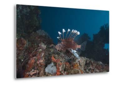 A Large Common Lionfish Swimming at Beqa Lagoon, Fiji-Stocktrek Images-Metal Print