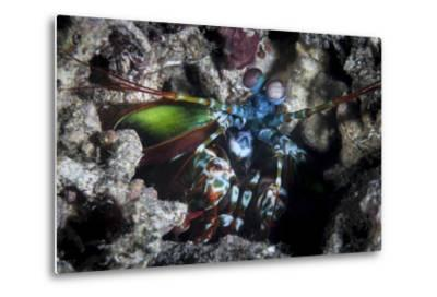 A Peacock Mantis Shrimp in Lembeh Strait, Indonesia-Stocktrek Images-Metal Print