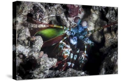 A Peacock Mantis Shrimp in Lembeh Strait, Indonesia-Stocktrek Images-Stretched Canvas Print