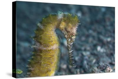 A Thorny Seahorse on the Seafloor of Lembeh Strait-Stocktrek Images-Stretched Canvas Print