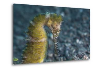 A Thorny Seahorse on the Seafloor of Lembeh Strait-Stocktrek Images-Metal Print