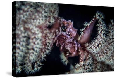 A Tiny Crab Clings to a Sea Pen on a Reef-Stocktrek Images-Stretched Canvas Print