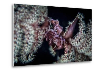 A Tiny Crab Clings to a Sea Pen on a Reef-Stocktrek Images-Metal Print