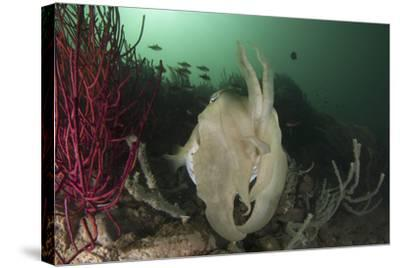 Full Body View of a Broadclub Cuttlefish Amongst a Reef-Stocktrek Images-Stretched Canvas Print