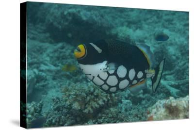 Clown Triggerfish Swimming in Fiji-Stocktrek Images-Stretched Canvas Print