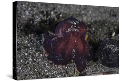 A Coconut Octopus Crawls across the Sandy Seafloor-Stocktrek Images-Stretched Canvas Print