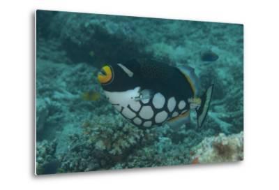 Clown Triggerfish Swimming in Fiji-Stocktrek Images-Metal Print