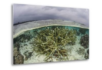 A Staghorn Coral Colony Grows in Shallow Water in the Solomon Islands-Stocktrek Images-Metal Print