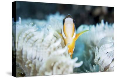 A Clark's Anemonefish Snuggles Amongst its Host's Tentacles on a Reef-Stocktrek Images-Stretched Canvas Print