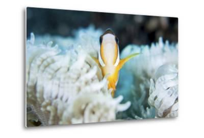A Clark's Anemonefish Snuggles Amongst its Host's Tentacles on a Reef-Stocktrek Images-Metal Print