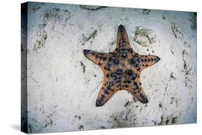 A Colorful Chocolate Chip Sea Star on the Seafloor of Indonesia-Stocktrek Images-Stretched Canvas Print