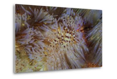 A Pair of Coleman's Shrimp Live Among the Venomous Spines of a Fire Urchin-Stocktrek Images-Metal Print