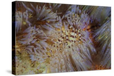 A Pair of Coleman's Shrimp Live Among the Venomous Spines of a Fire Urchin-Stocktrek Images-Stretched Canvas Print