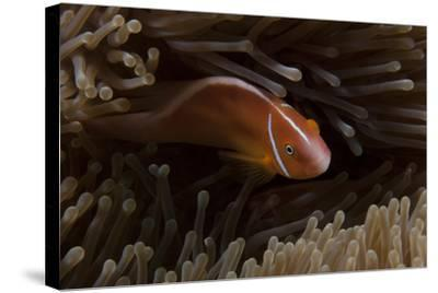 Pink Anemonefish in its Host Anenome, Fiji-Stocktrek Images-Stretched Canvas Print