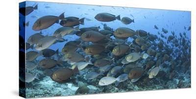 A Dense School of Yellowmask Surgeonfish, Indonesia-Stocktrek Images-Stretched Canvas Print