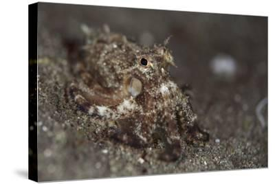 A Young Day Octopus on Black Volcanic Sand-Stocktrek Images-Stretched Canvas Print