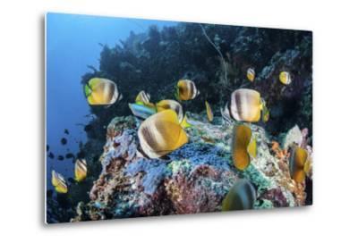 Klein's Butterflyfish Swim over a Reef Near Sulawesi, Indonesia-Stocktrek Images-Metal Print