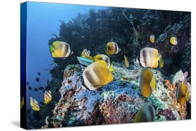 Klein's Butterflyfish Swim over a Reef Near Sulawesi, Indonesia-Stocktrek Images-Stretched Canvas Print