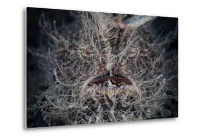Front View of a Hairy Frogfish-Stocktrek Images-Metal Print