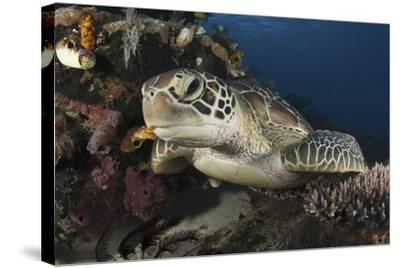 A Green Turtle Resting on a Reef Top in Komodo National Park, Indonesia-Stocktrek Images-Stretched Canvas Print