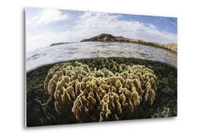 A Fire Coral Colony Grows in Komodo National Park-Stocktrek Images-Metal Print