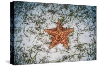 A West Indian Starfish on the Seafloor in Turneffe Atoll, Belize-Stocktrek Images-Stretched Canvas Print
